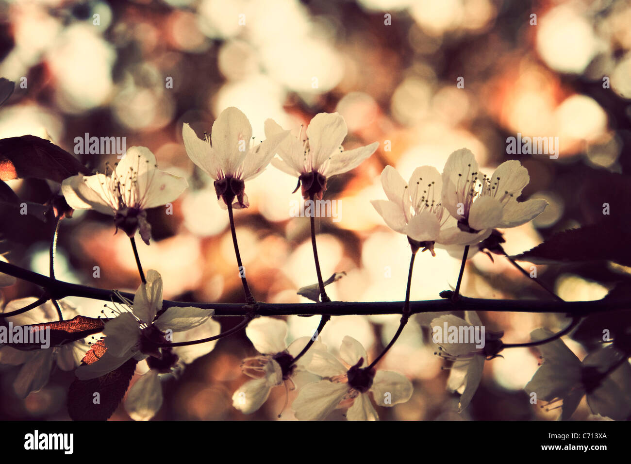 Prunus, Cherry, Pink flower blossom on tree branch subject, Stock Photo