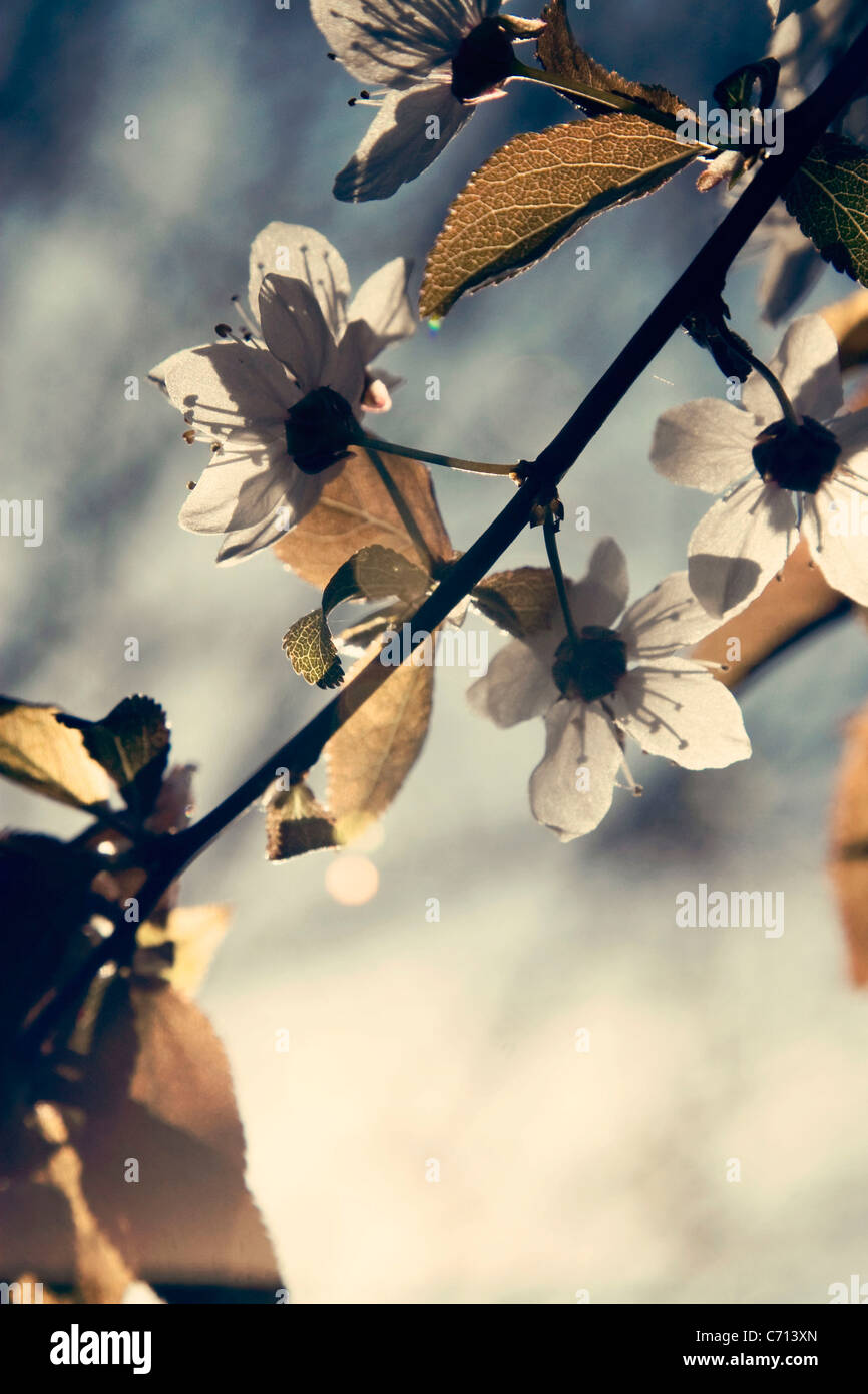 Prunus, Cherry, Pink flower blossom on tree branch subject, Stock Photo