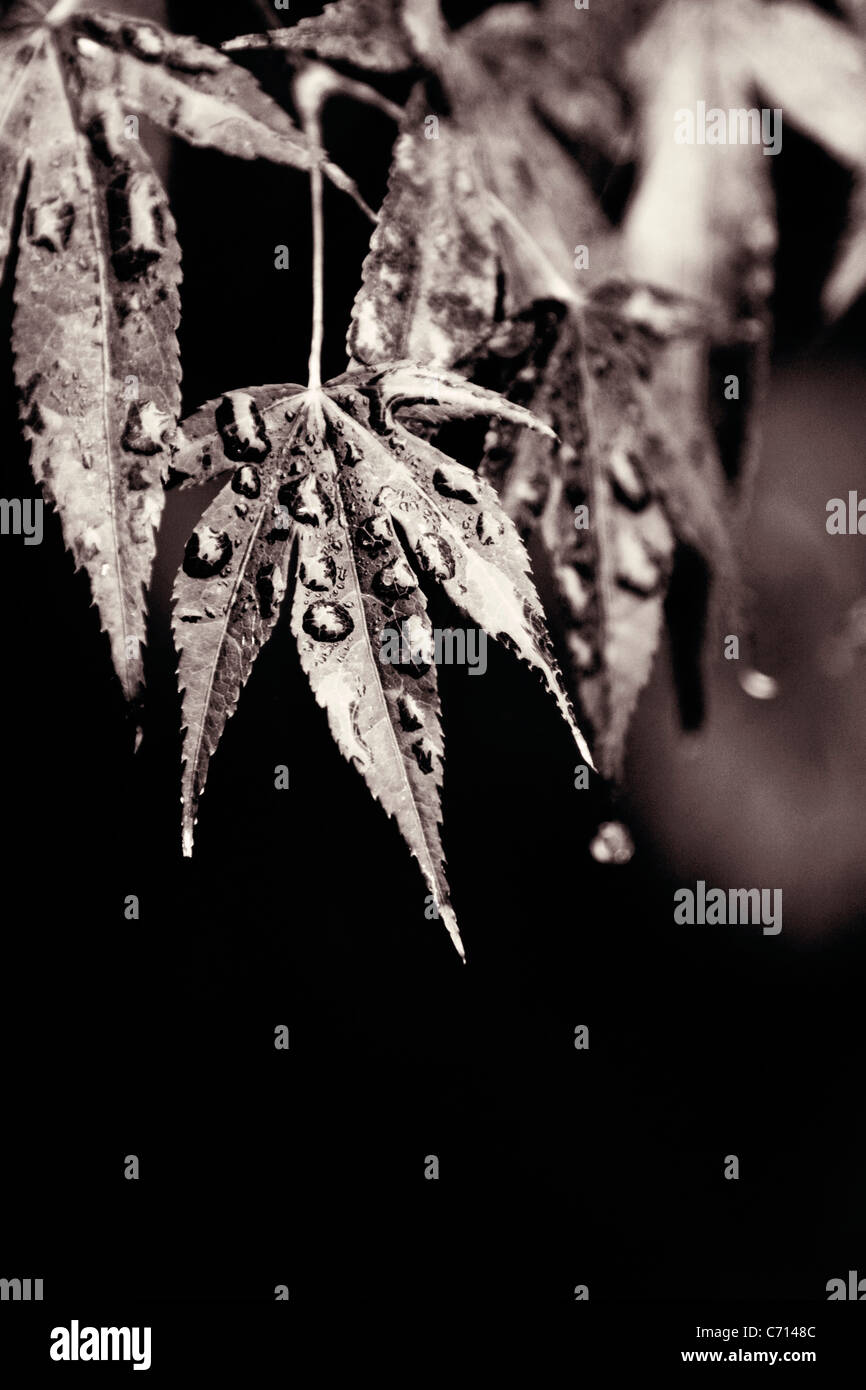 Acer palmatum, Japanese maple leaf with water moisture droplets, Black & white, - Stock Image