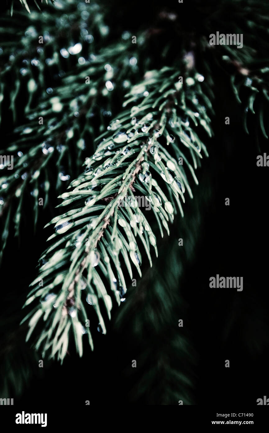 Pinus, Abies, Picea, Pine, Fir, Spruce, Green subject, - Stock Image