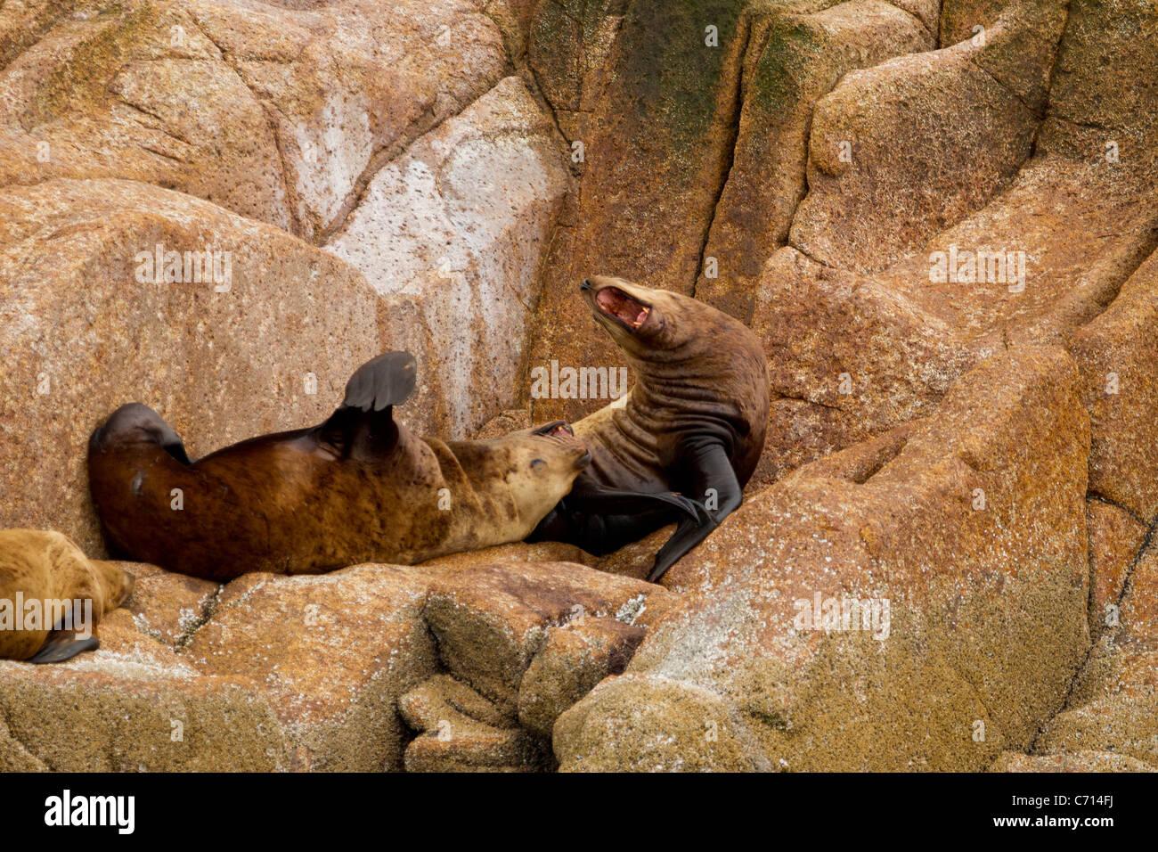 Stellar Sea Lion Roaring, Frederick Sound, Alaska - Stock Image