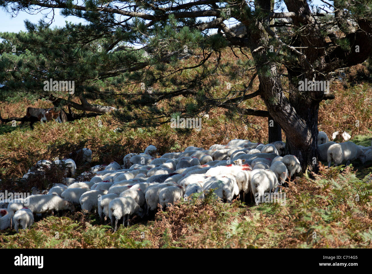 Sheep protecting themselves from the sun under the shade of trees (France). Brebis se protégeant du soleil - Stock Image