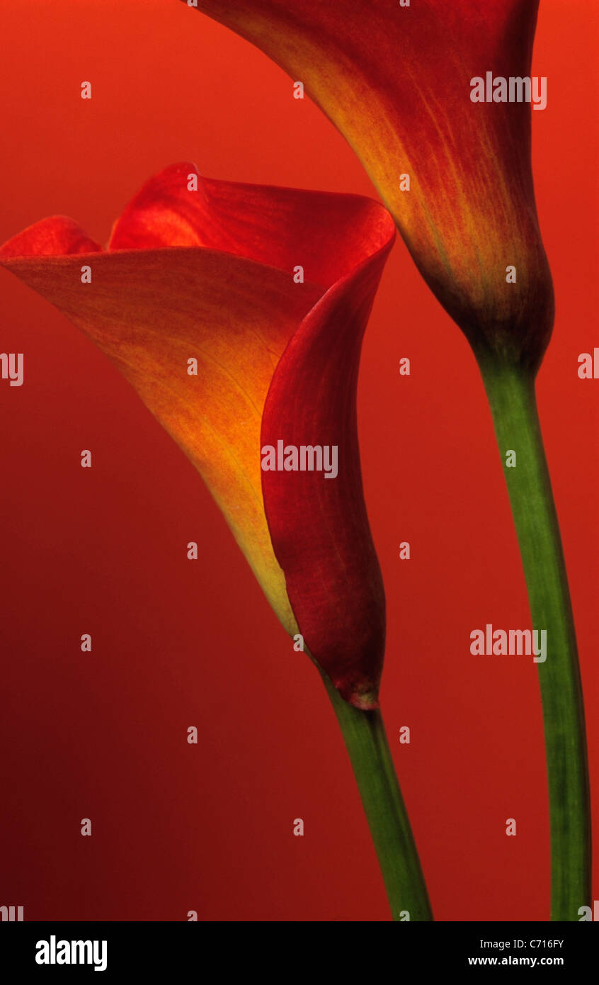 Zantedeschia Lilies Arum Or Calla Lily Orange Flower Subject Red