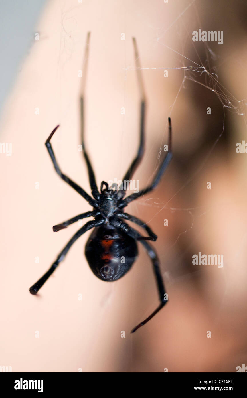 Black arachnid black widow spider - Stock Image