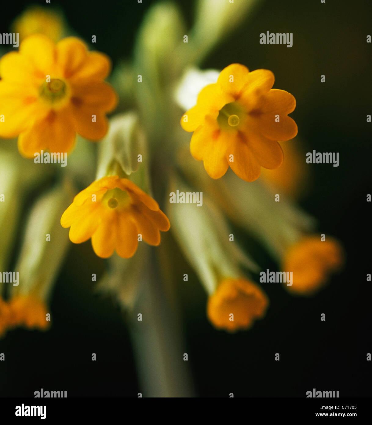 Primula veris, Cowslip, Yellow flower subject, Black background Stock Photo