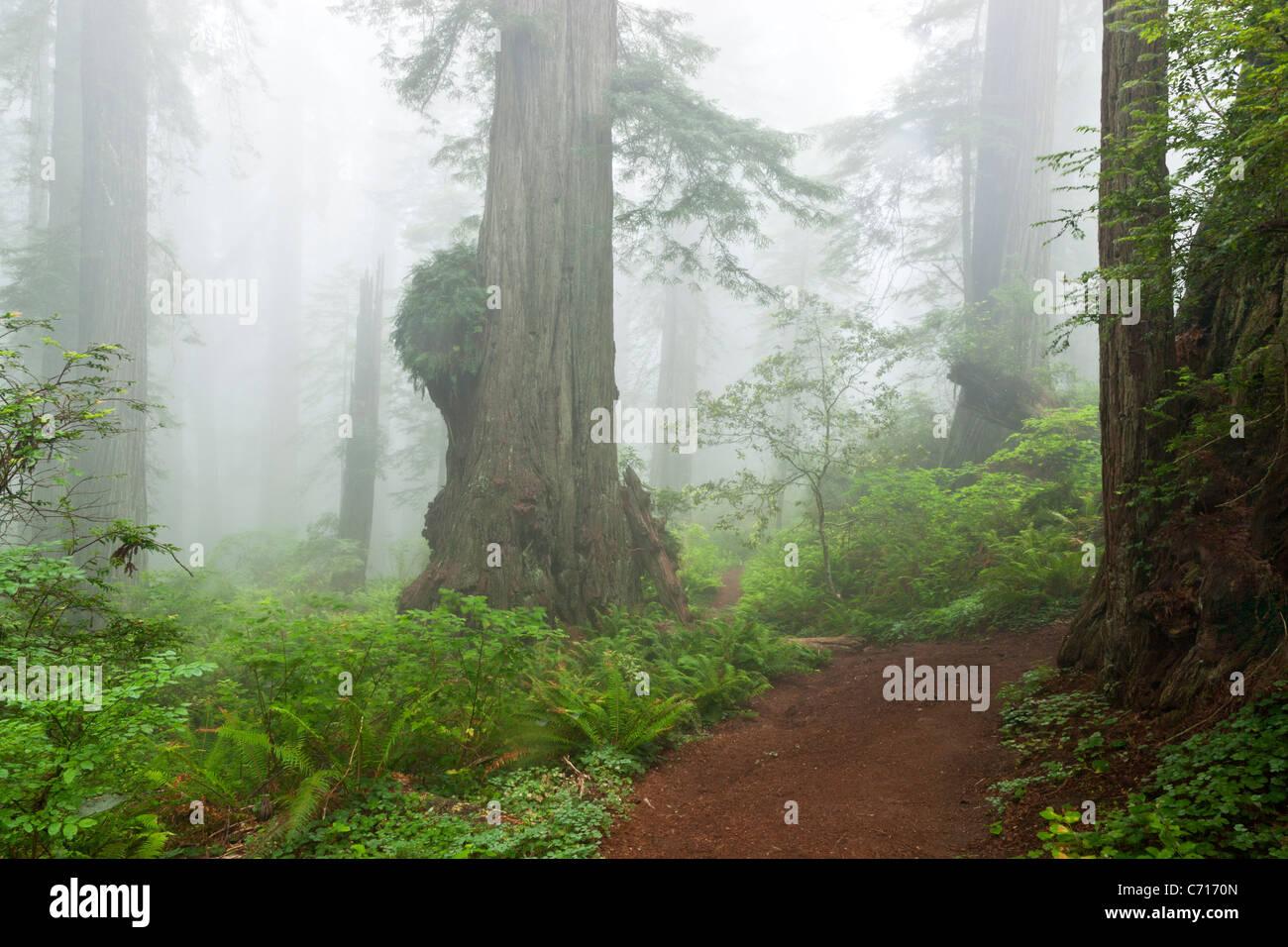 Redwood forest shrouded in fog, - Stock Image