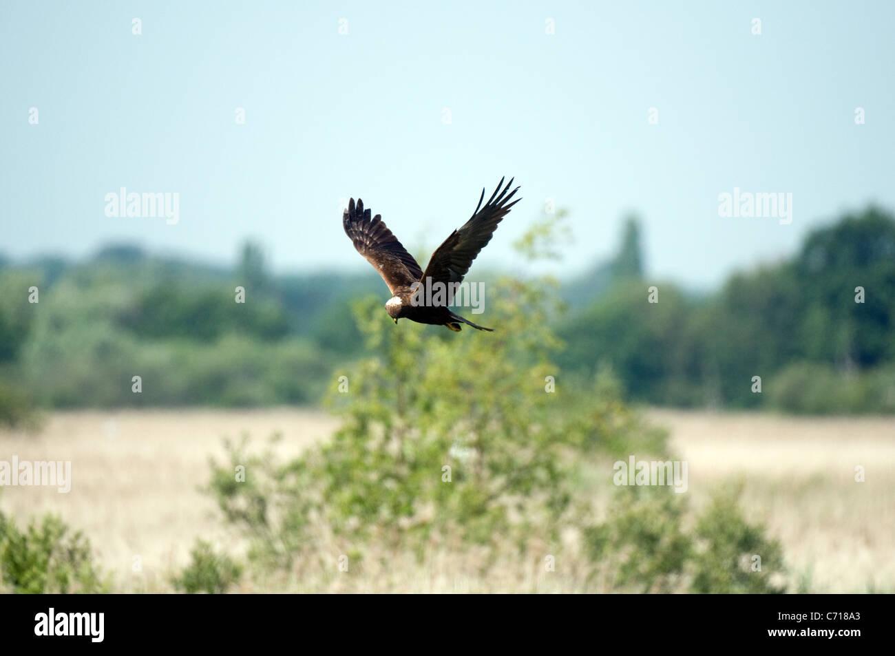 Female marsh harrier in flight Stock Photo