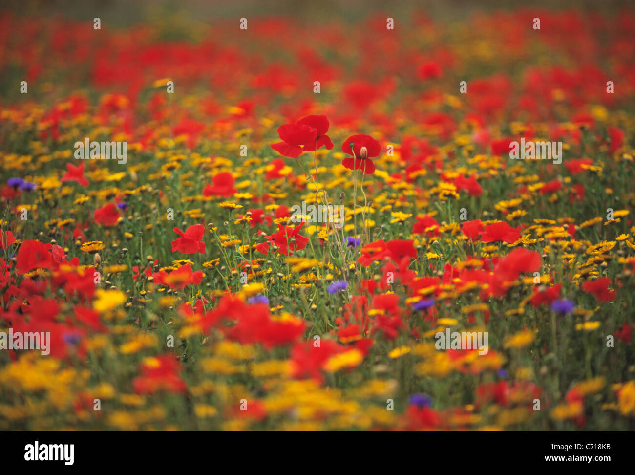 Papaver rhoeas, Poppy field, Mixed colours wild flowers subject - Stock Image