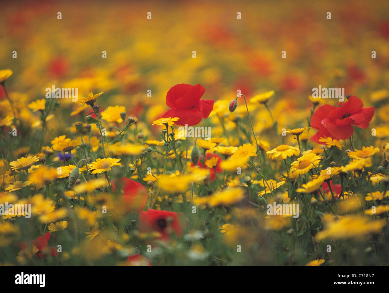Wild flowers in Meadow, Mixed colours - Stock Image