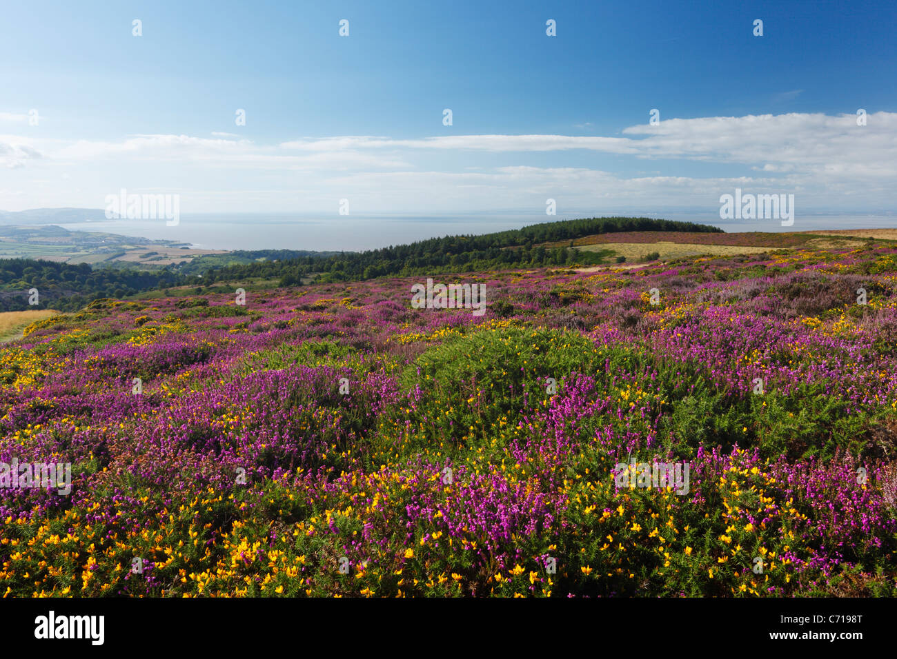 Heather and Gorse on Beacon Hill with views towards Watchet and Minehead. The Quantock Hills. Somerset. England. - Stock Image