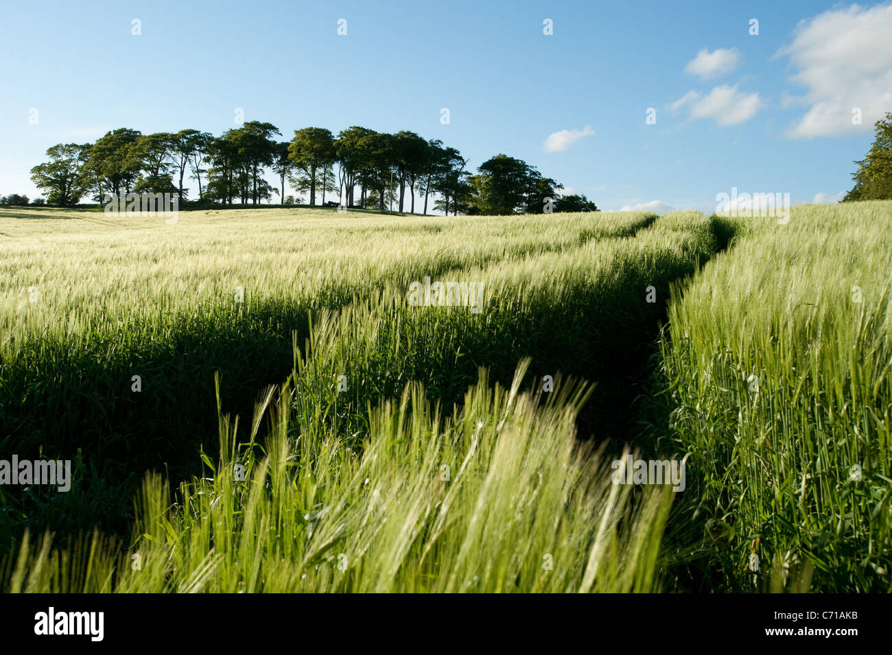 Wheat field at Dromore - Stock Image