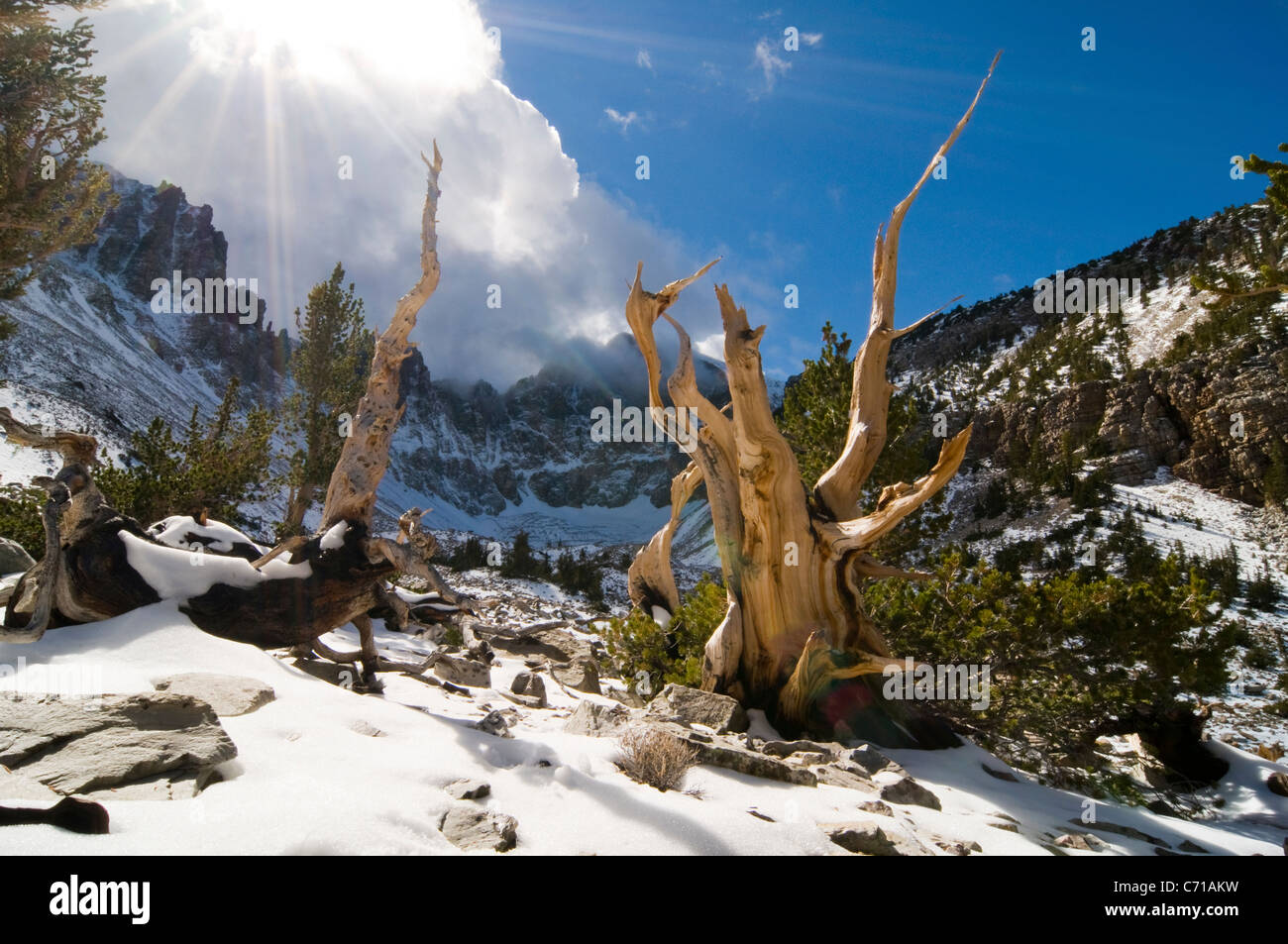 Rays of sun penetrate the clouds illuminating several bristlecone pine trees in the Wheeler Peak Grove in Great - Stock Image