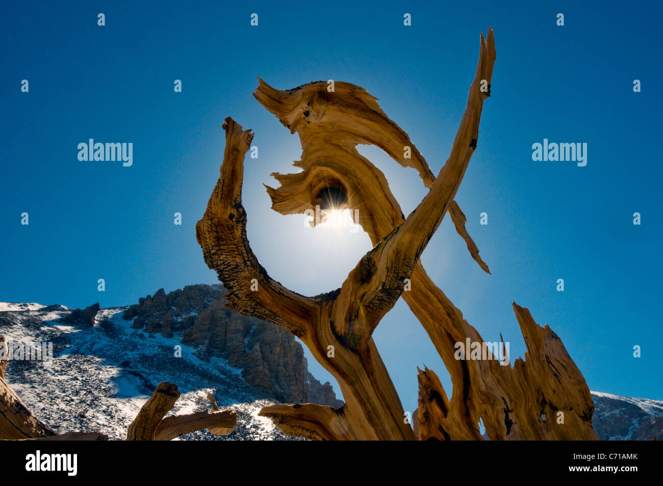 An odd shaped section of a live bristlecone pine tree in Great Basin National Park, NV. - Stock Image