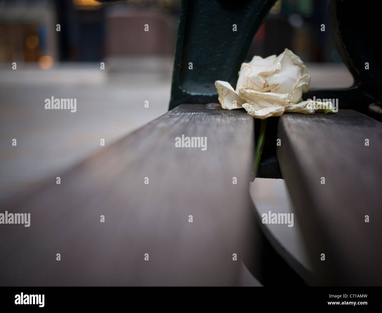 White rose discarded from night before on bench - Stock Image