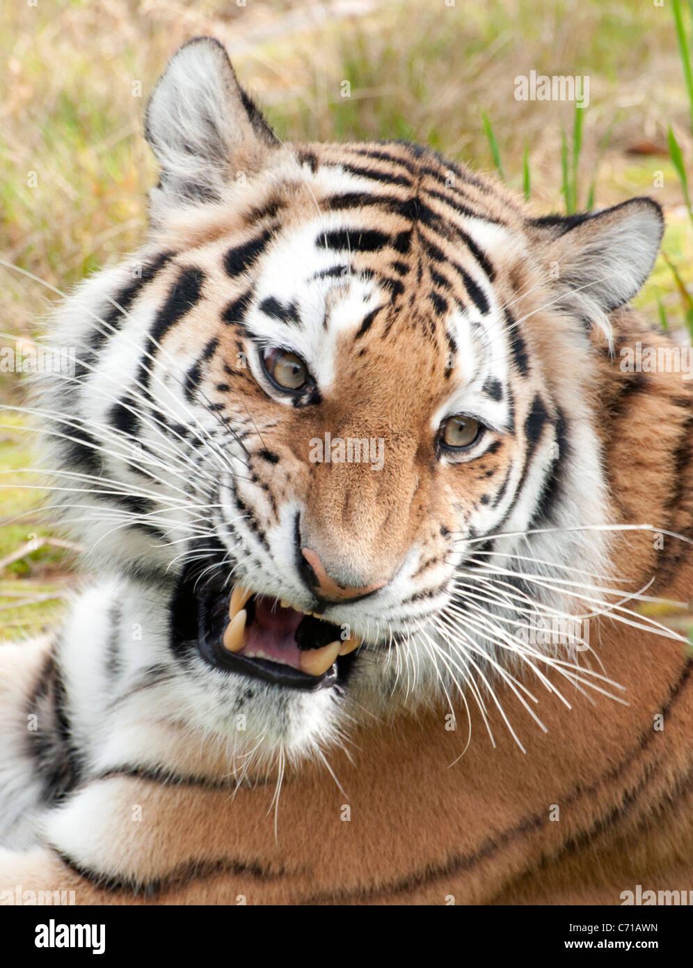 Female Amur tiger snarling - Stock Image