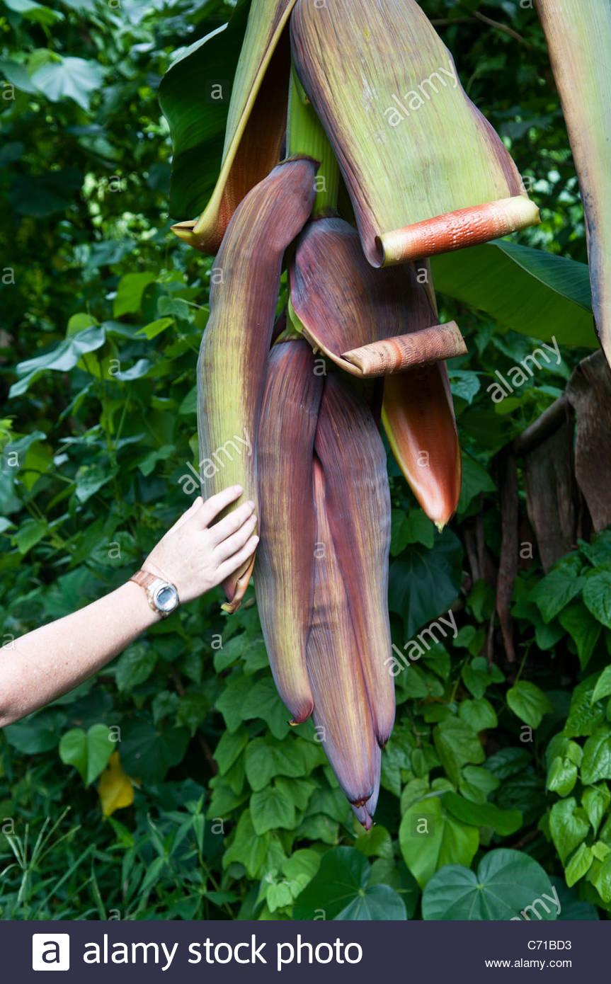 Woman touching a banana tree flower, Rarotonga, Cook Islands. - Stock Image