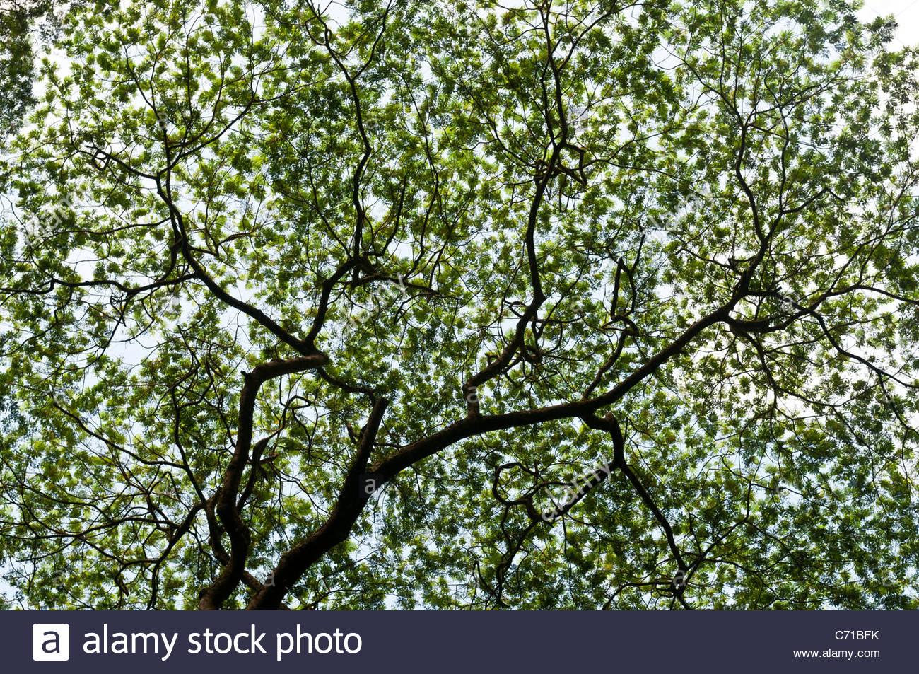 Abstract view of tree foliage, Rarotonga, Cook Islands. - Stock Image