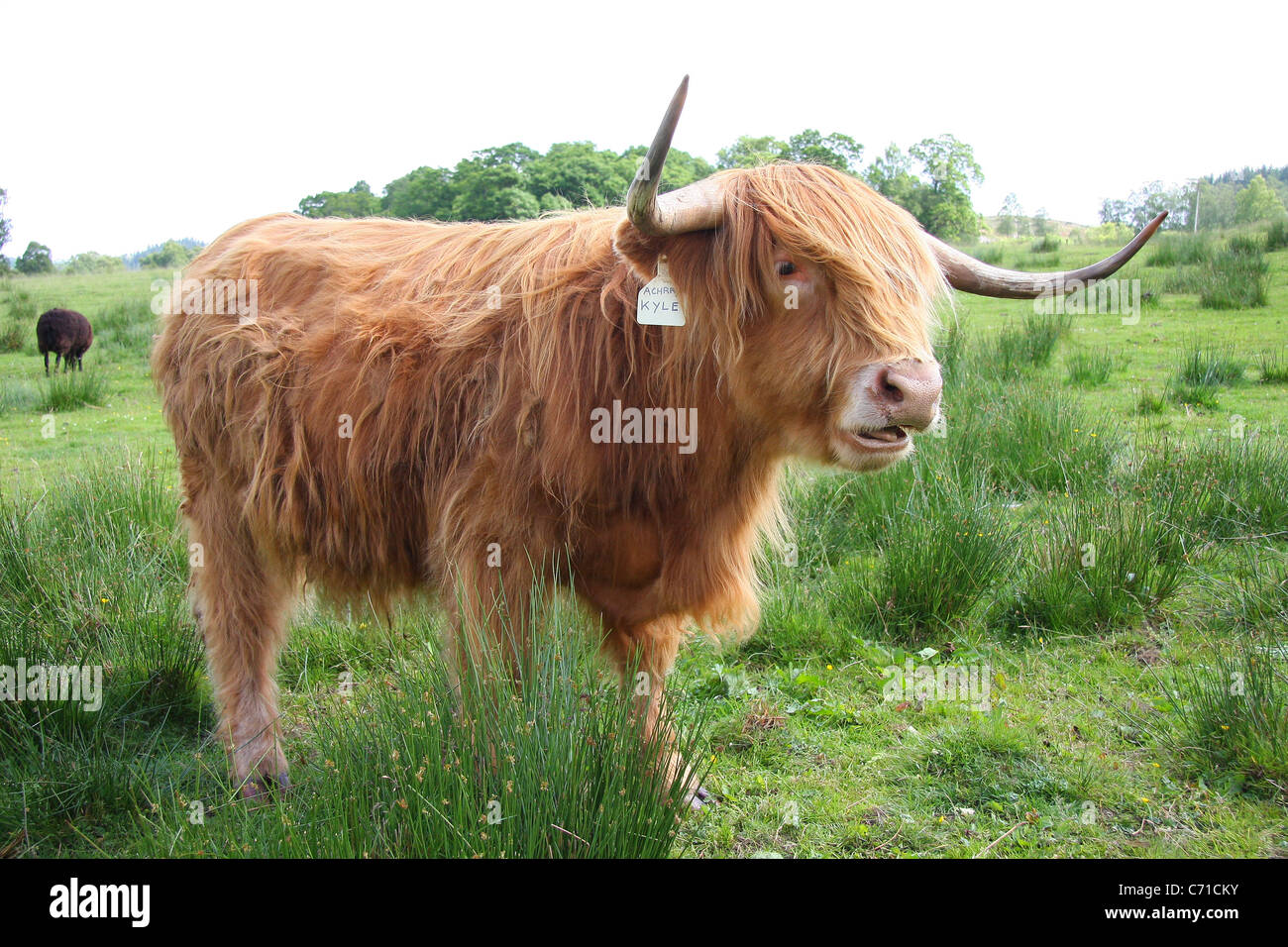 highland cattle, cow scotland, horns,grazing, lochs and glens - Stock Image