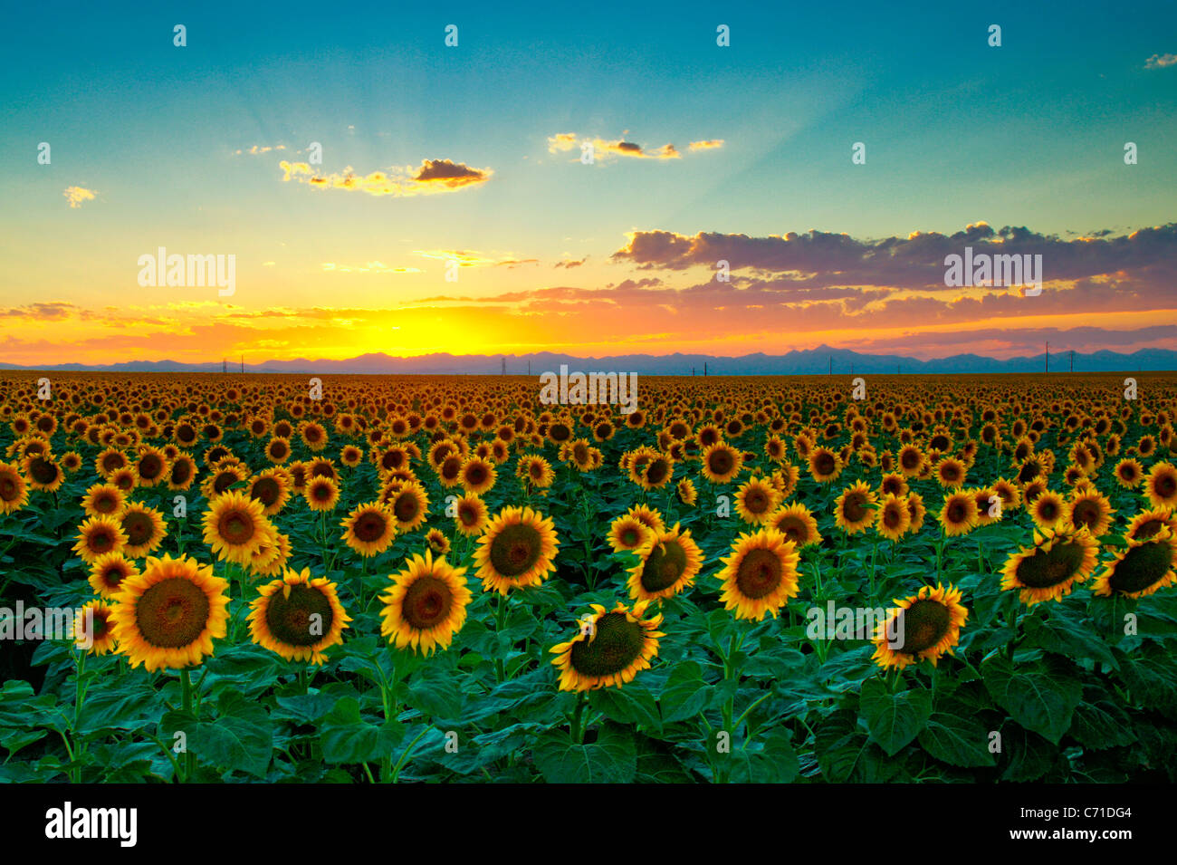 Sunflowers seem to go on forever as the sunset gives way to the days last light in Colorado - Stock Image
