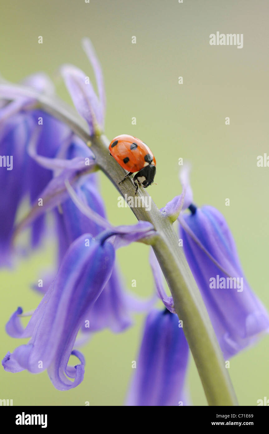 Hyacinthoides non-scripta Common English Bluebell or wild hyacinth with seven spot ladybird on the floral spike - Stock Image