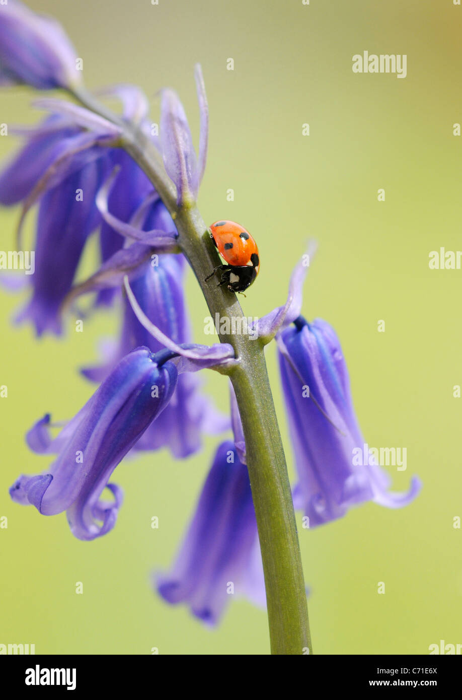 Hyacinthoides non-scripta Common English Bluebell or wild hyacinth with seven spot ladybird on the floral spike. - Stock Image