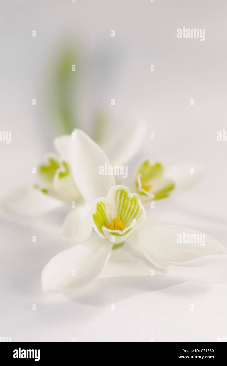 Galanthus nivalis Snowdrop flowers against a white background. - Stock Image