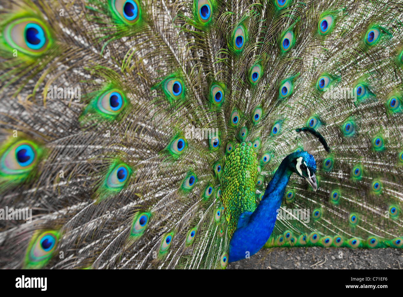A peacock - Stock Image