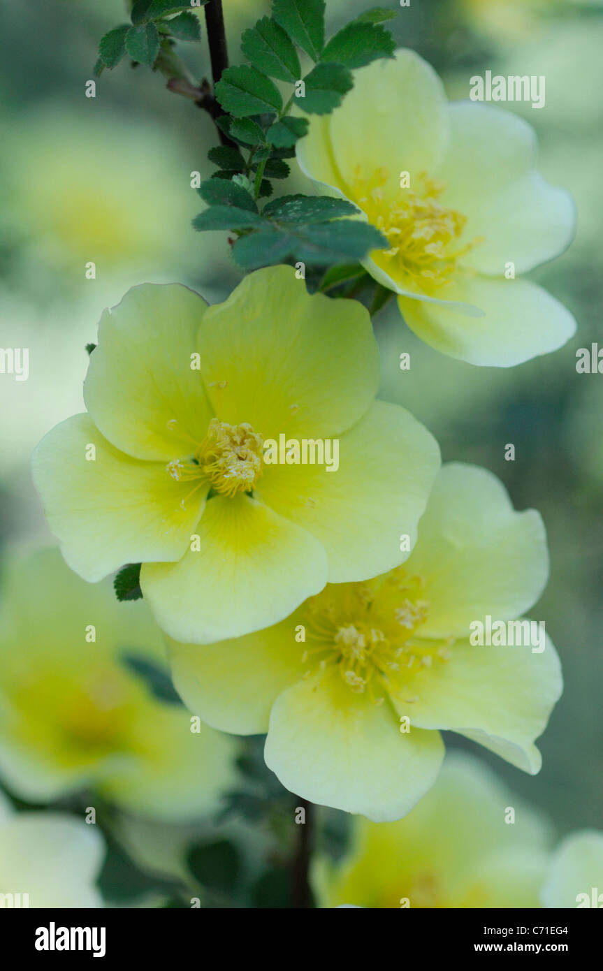 Rosa Canary Bird Rose Yellow Flowers On Shrub Stock Photo