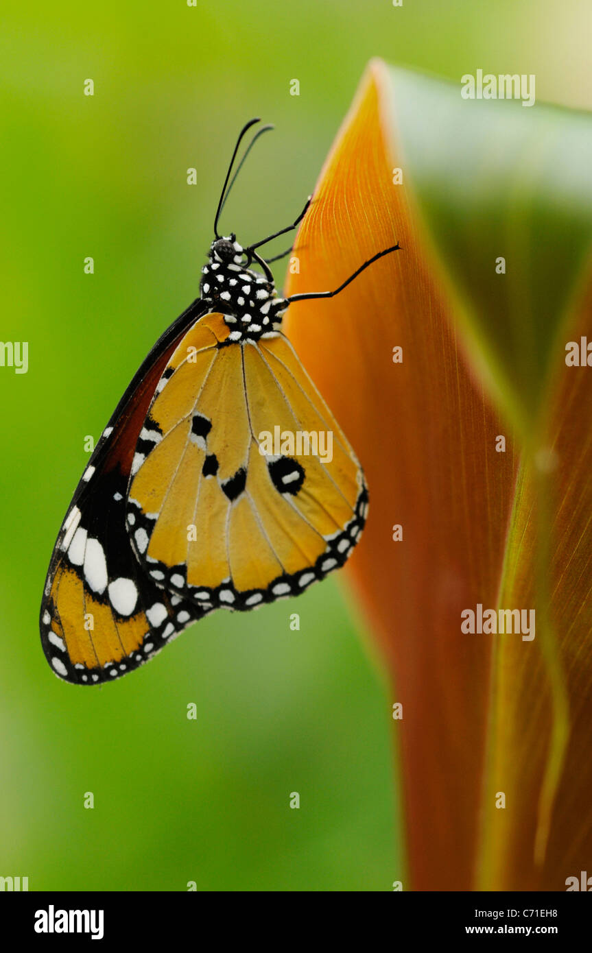 Monarch butterfly Danaus plexippus on Canna plant leaf with wings closed and underside visible. - Stock Image