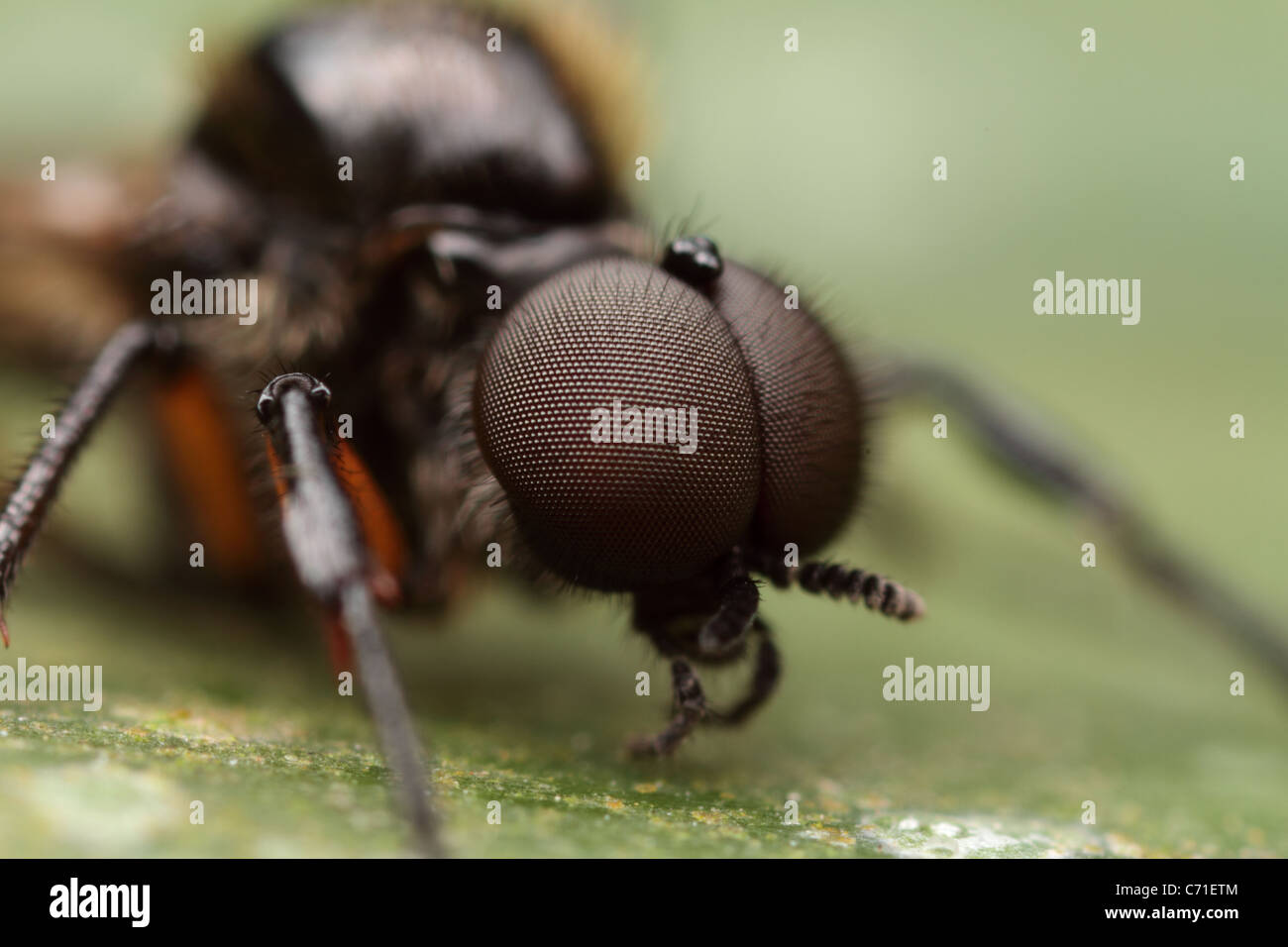 Compound eyes of a march fly - Stock Image