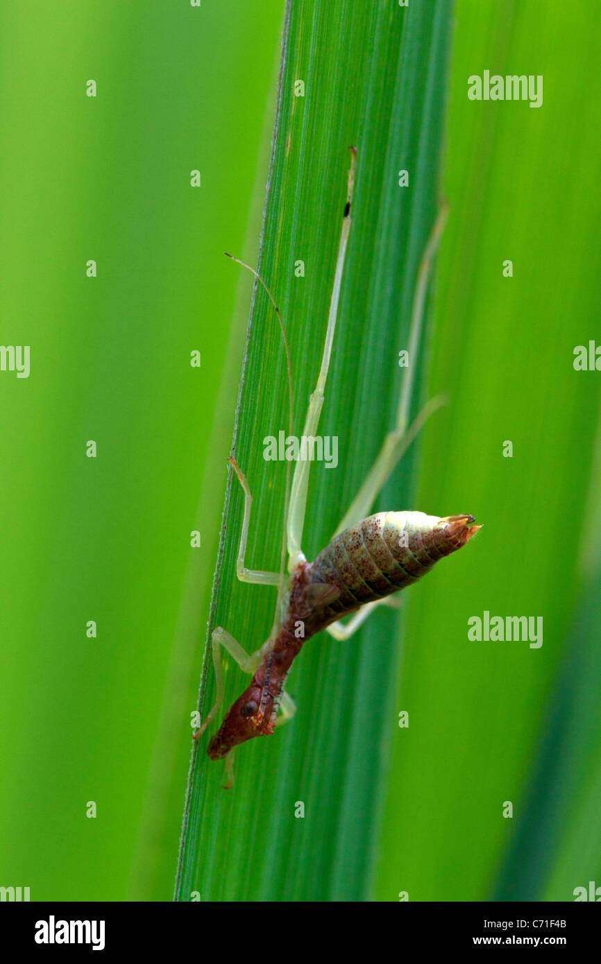 Two-spotted Tree Cricket  (Neoxabea bipunctata) nymph, early instar - Stock Image