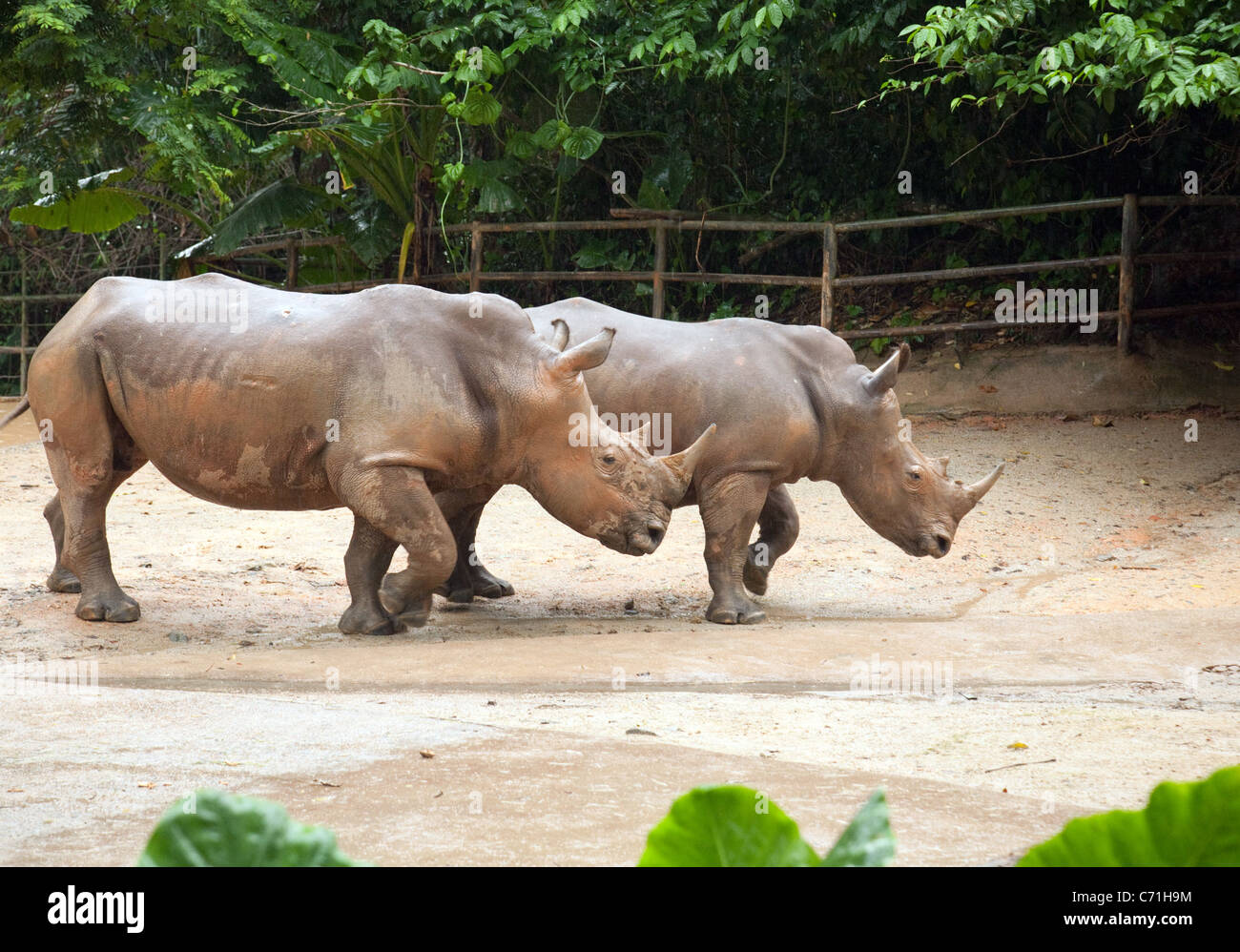 A pair of White rhinoceros (Ceratotherium simum) in Singapore Zoo, Asia - Stock Image