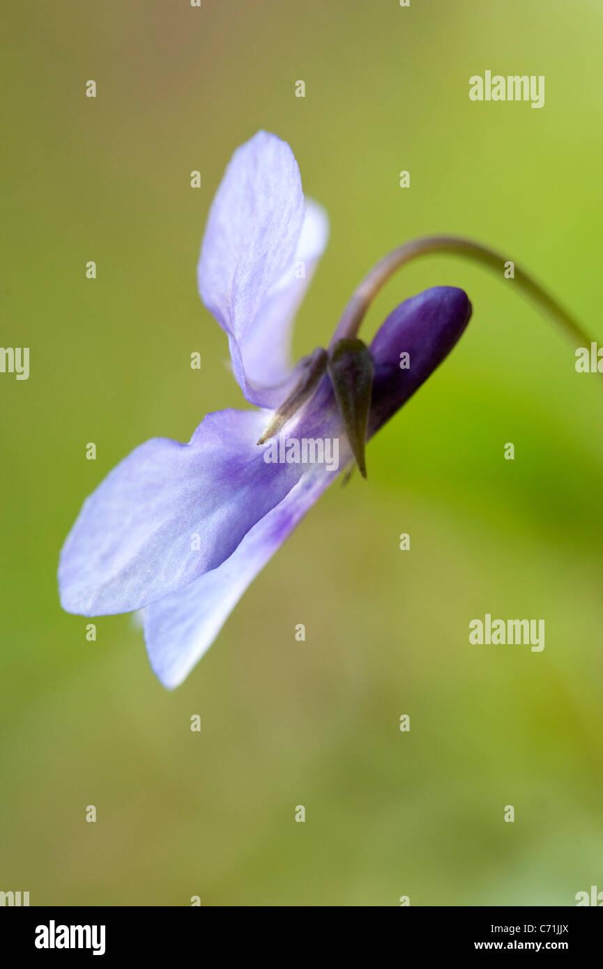 Common Blue Violet Viola sororia sororia UK - Stock Image