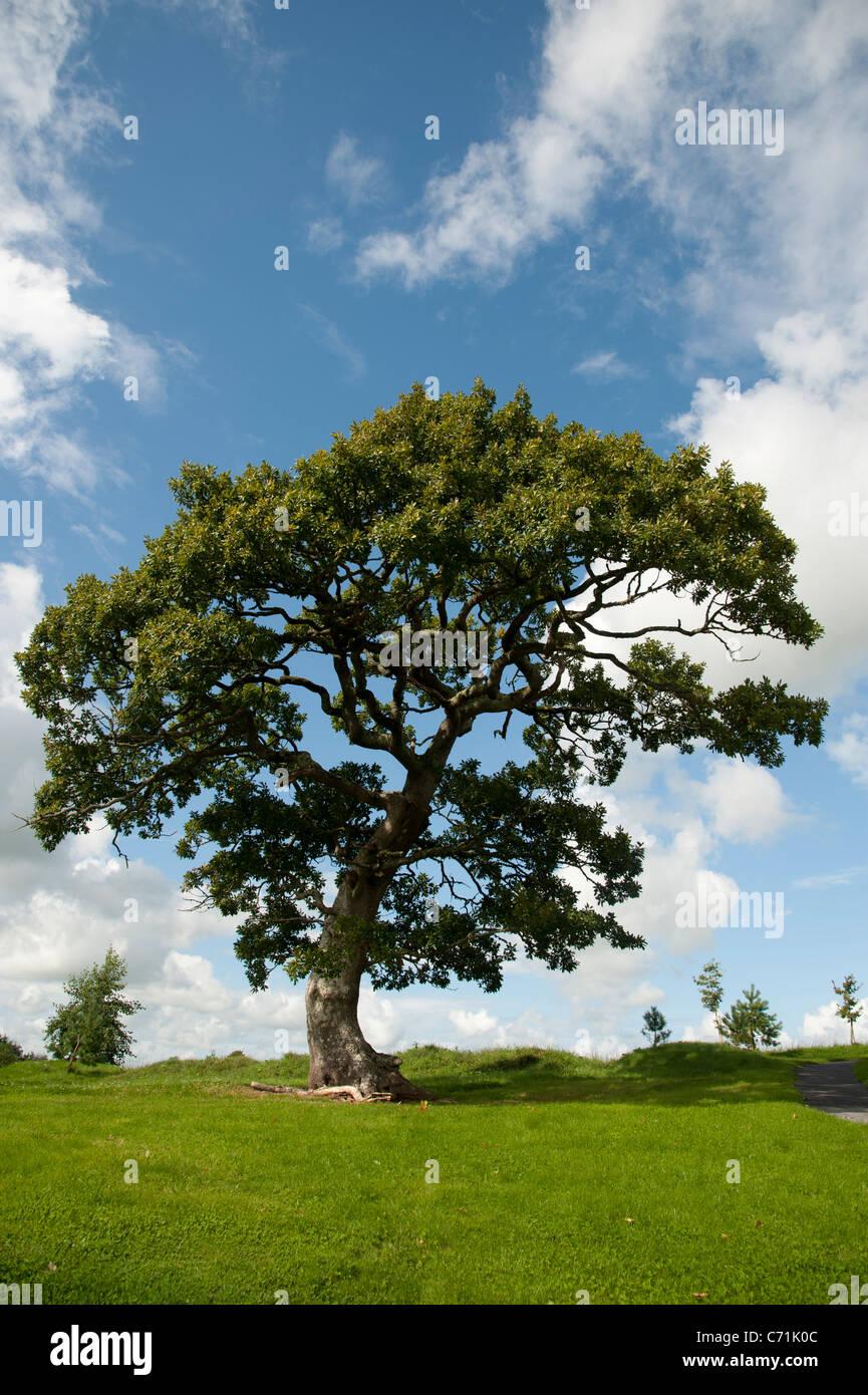 An English oak tree, summer, UK - Stock Image