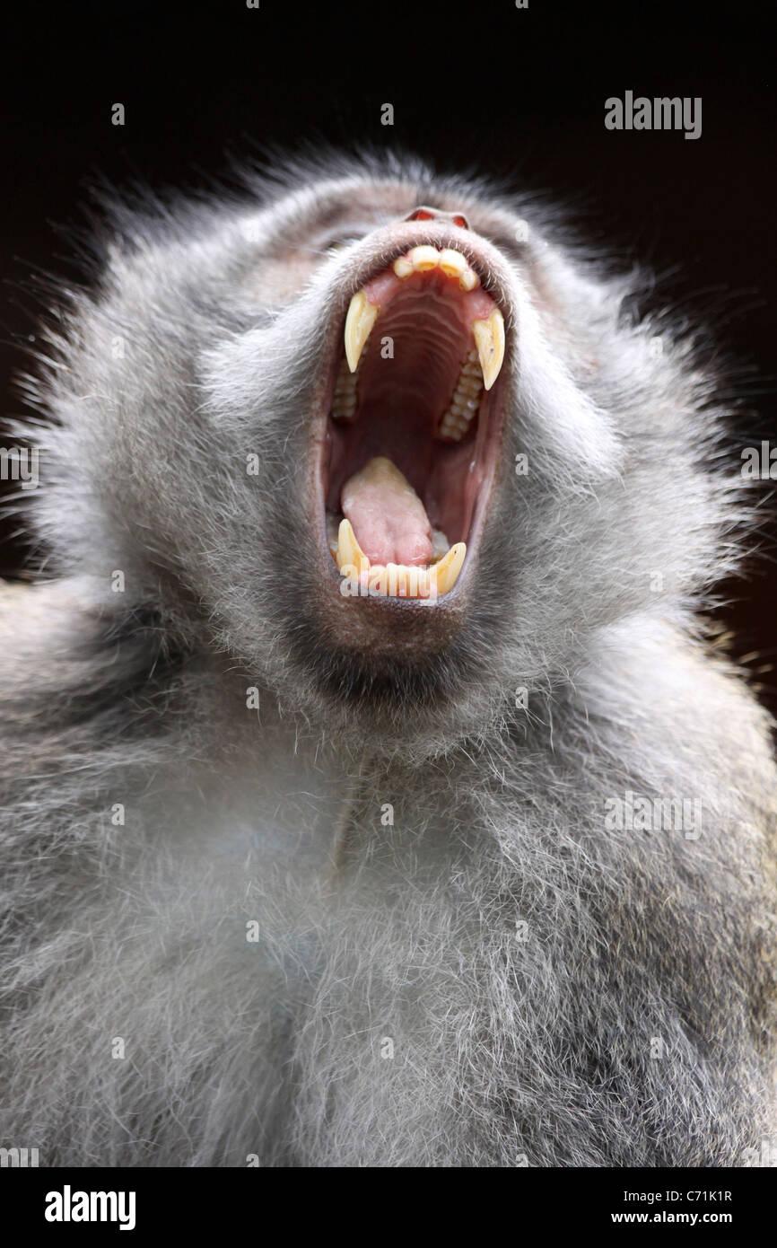 Yawning Crab-eating Macaque Macaca fascicularis - Stock Image