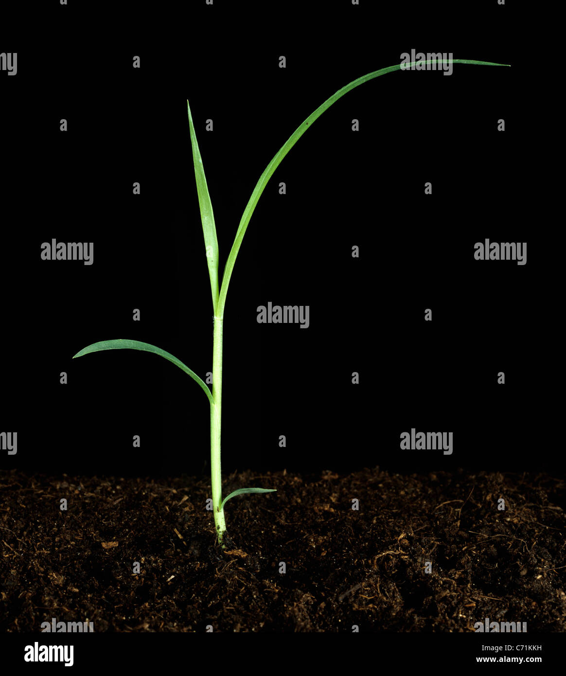 Giant foxtail (Setaria faberi) seedling grass weed - Stock Image