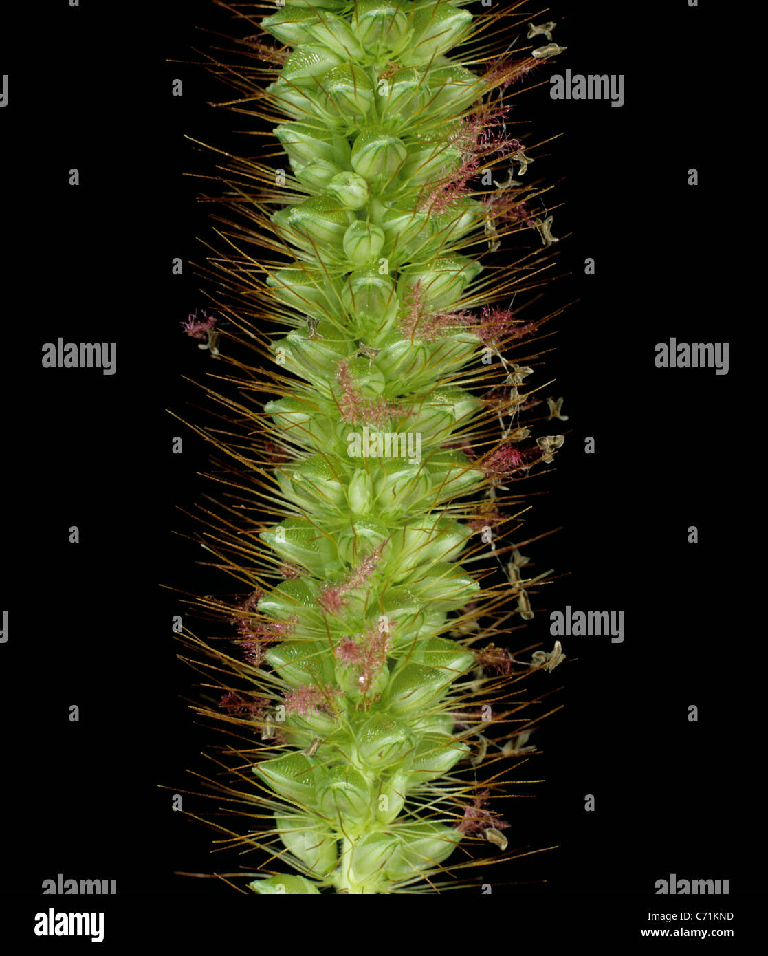 Yellow foxtail (Setaria glauca) flower spike - Stock Image