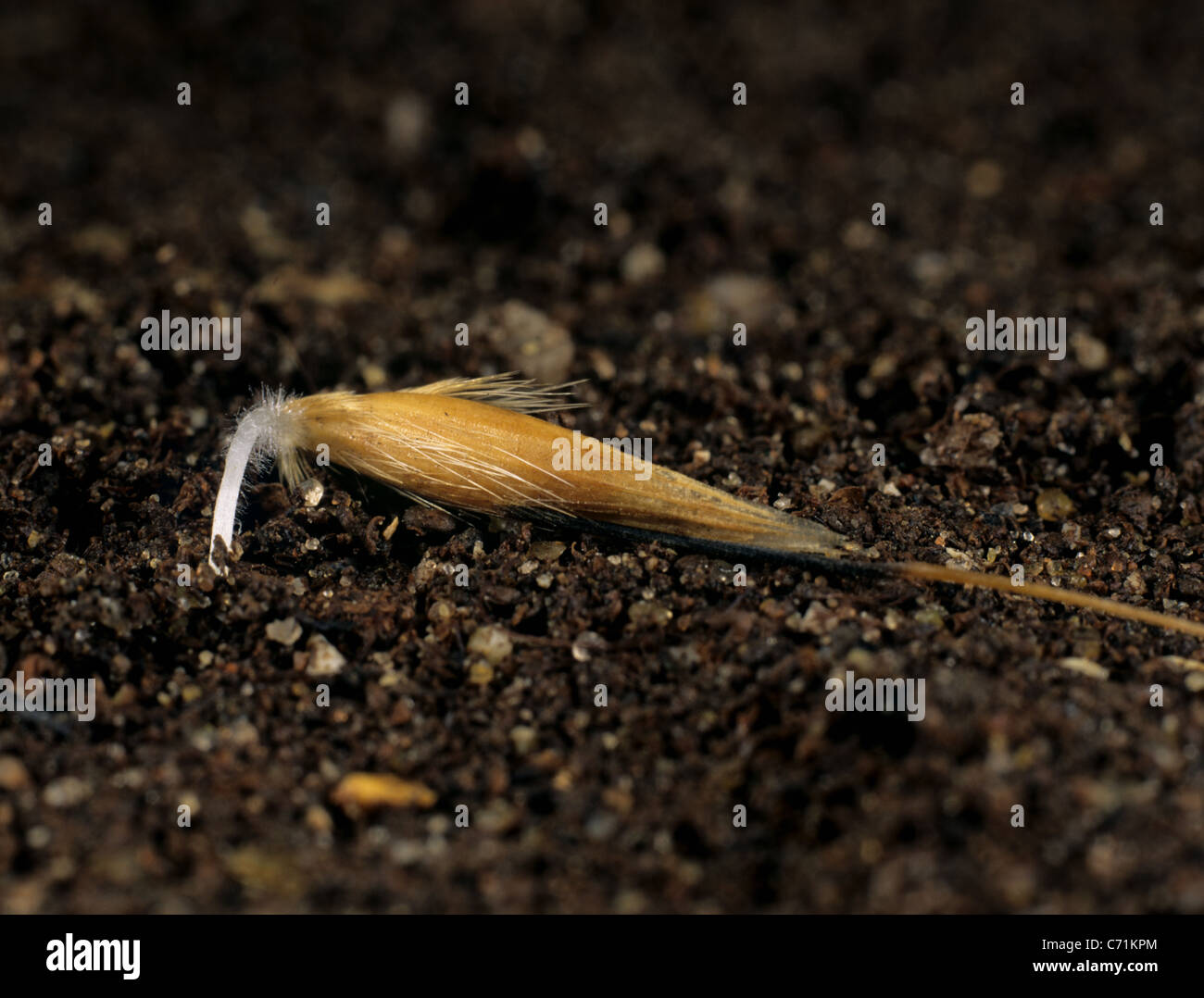 Wild oat (Avena fatua) seed beginning to germinate with root entering the soil Stock Photo