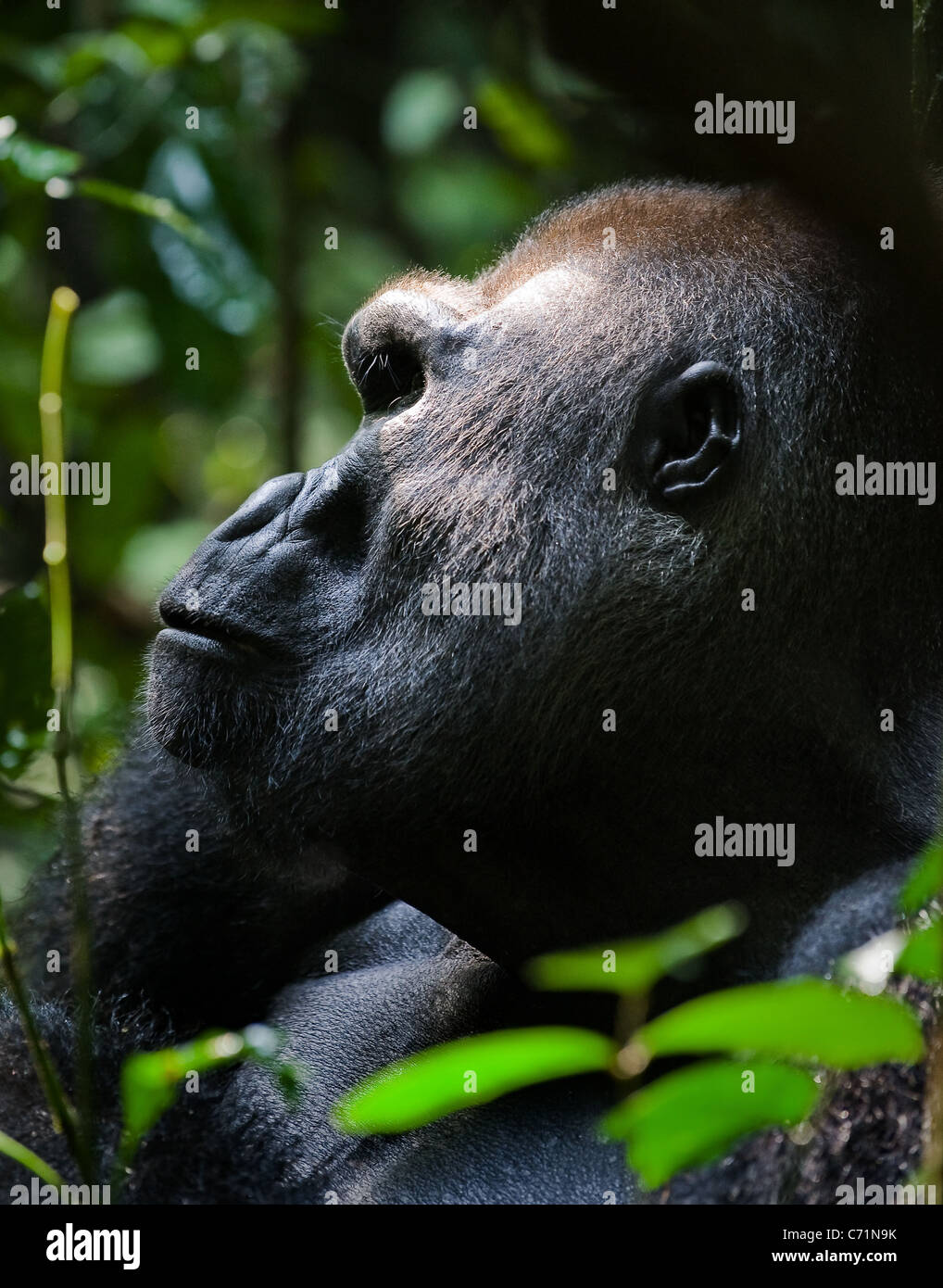 Gorilla leader- Silverback - adult male of a gorilla.Western Lowland Gorilla. - Stock Image