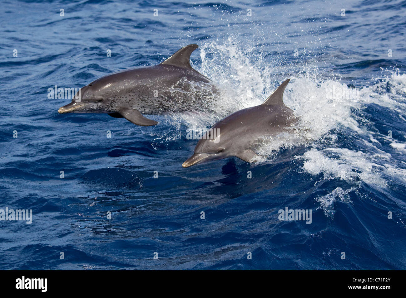 Dolphins, two spotted dolphins, Stenella attenuata, leap in ocean, dolphin leaping - Stock Image