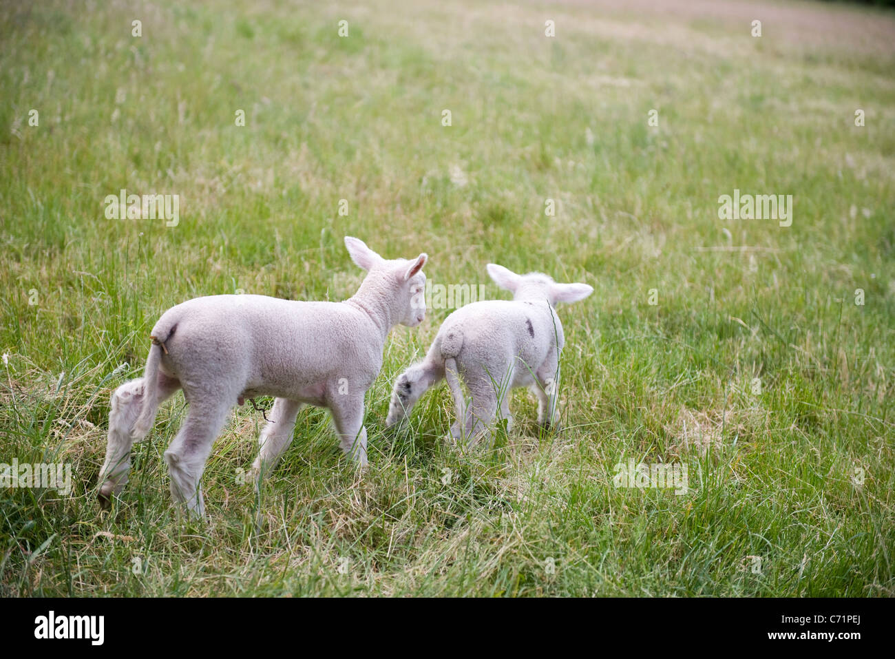 Lambs in pasture - Stock Image