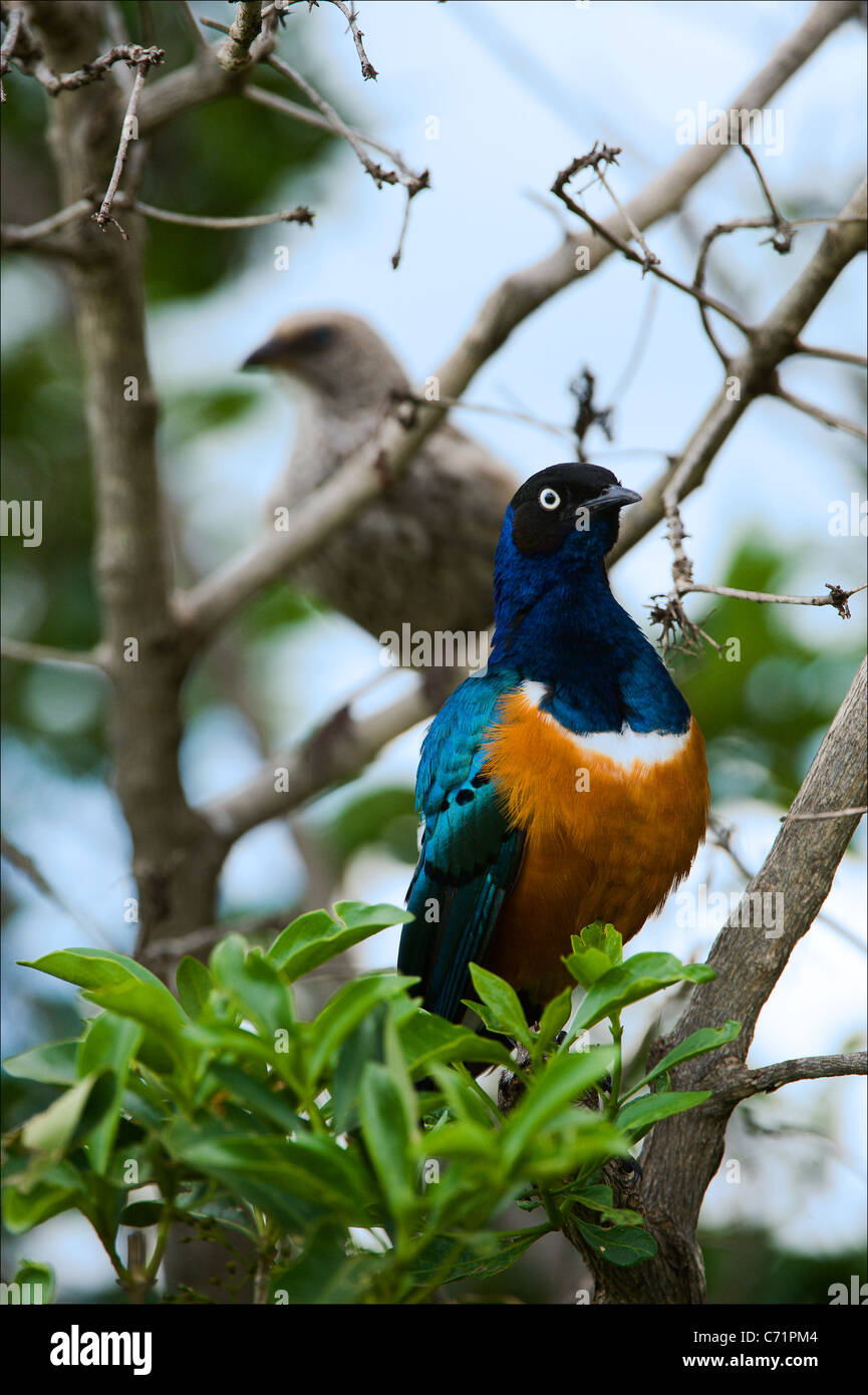 Colorful bird Superb Starling - Stock Image