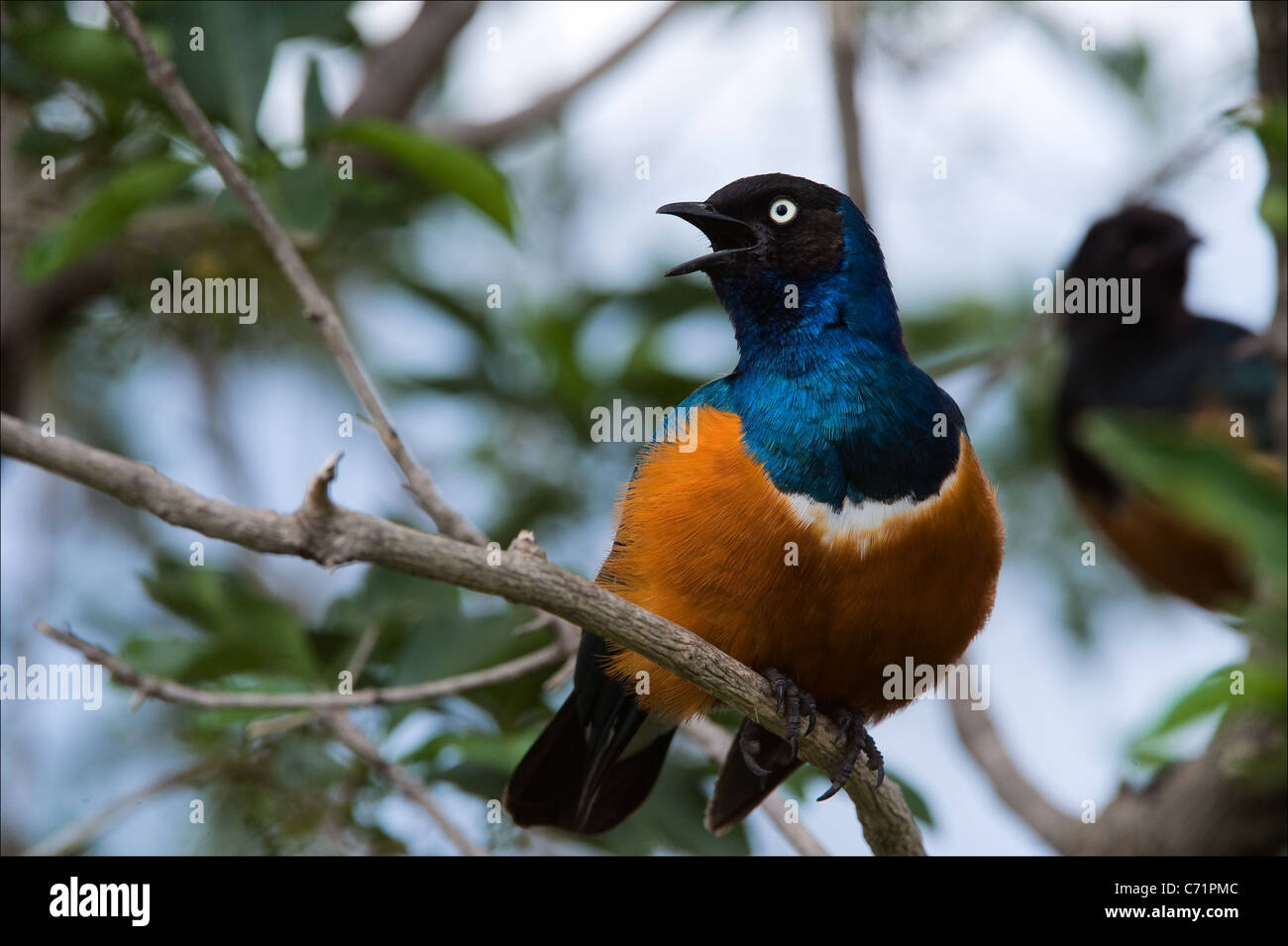 Superb Starling - Stock Image