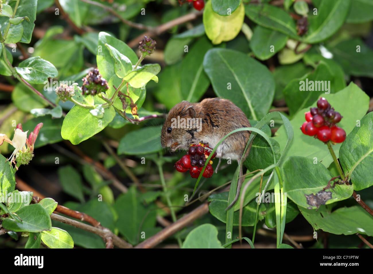 Bank Vole Clethrionomys glareolus Feeding on Honeysuckle Berries UK - Stock Image