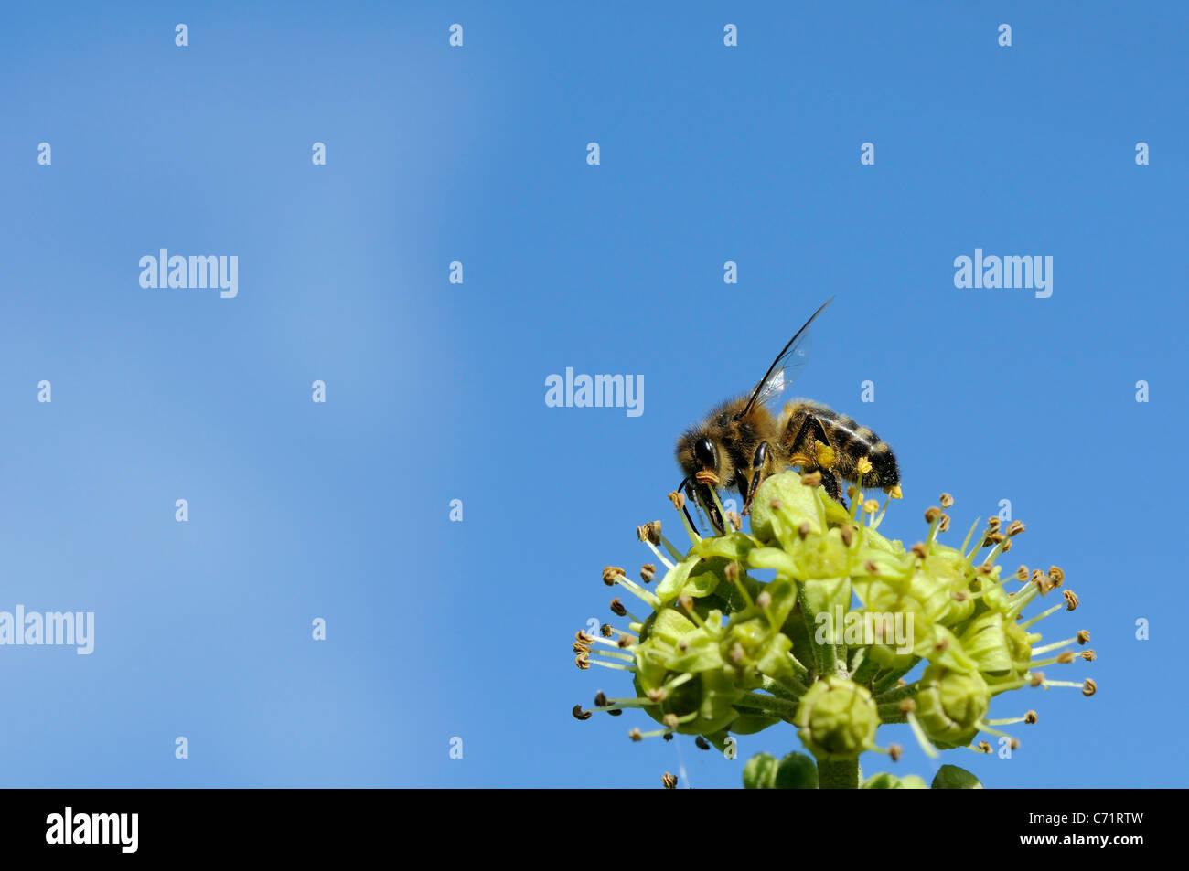 Honey Bee Apis Mellifera Feeding On Ivy Flowers Hedera Helix