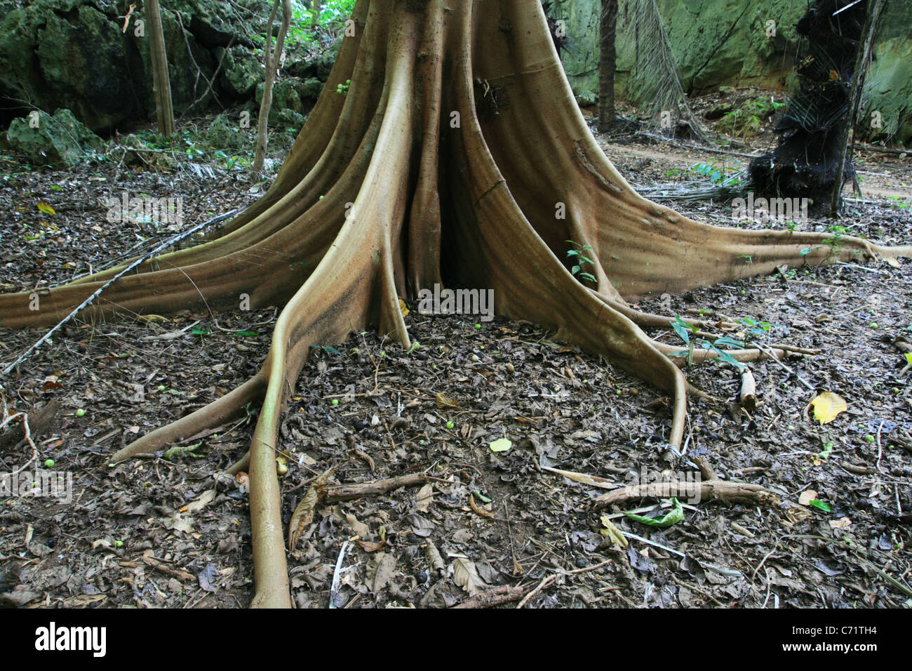 fig tree root buttress and tropical forest floor - Stock Image