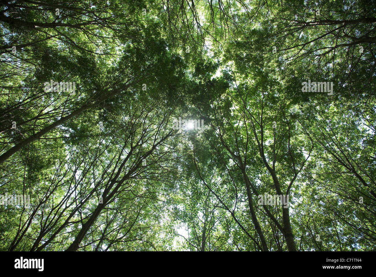 Tree canopy, low angle view - Stock Image