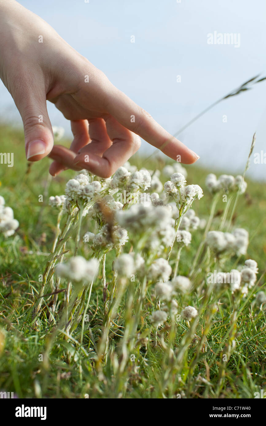 Hand over white flowers in meadow, cropped - Stock Image