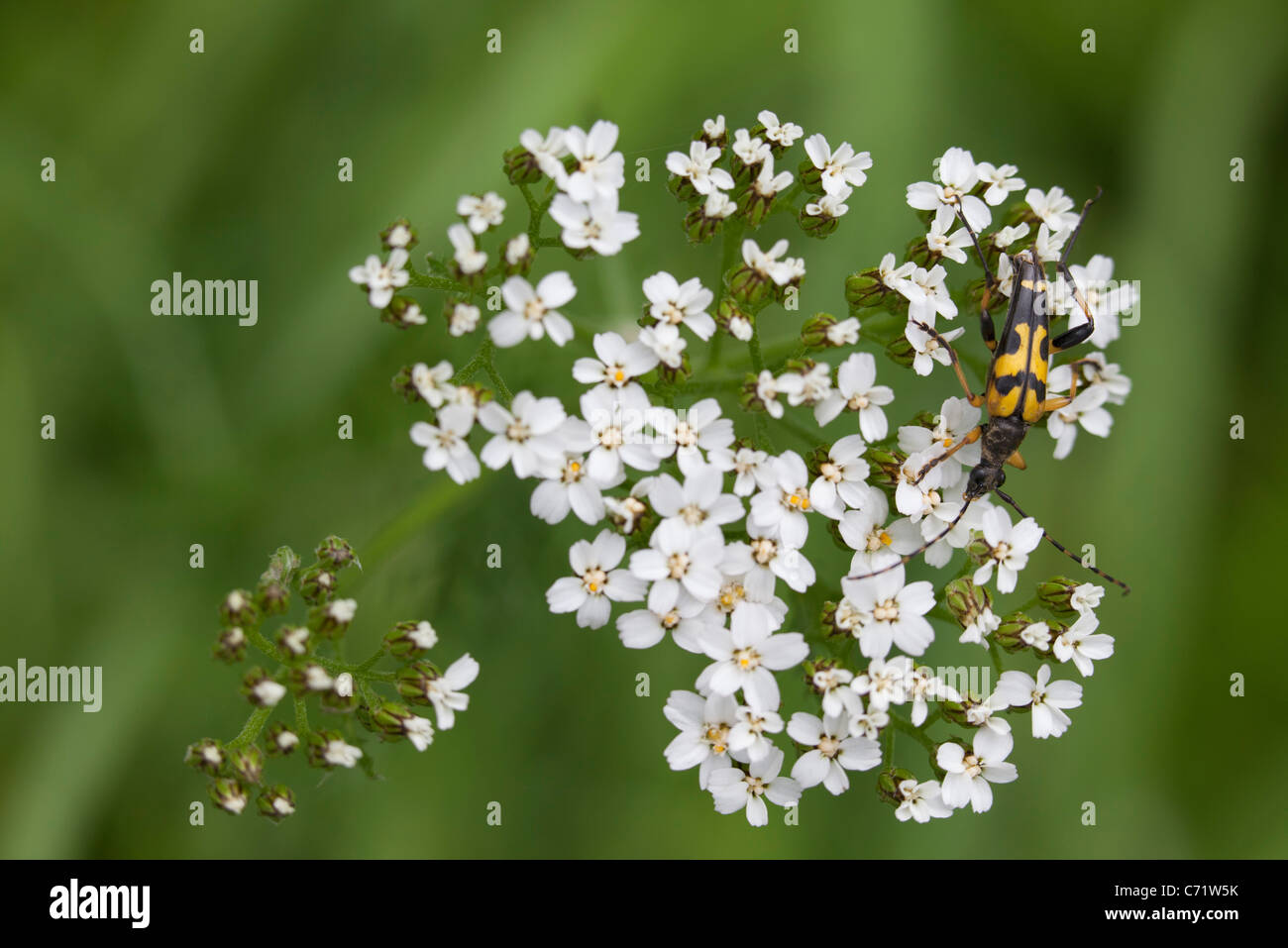 Longhorn beetle on white blossom - Stock Image
