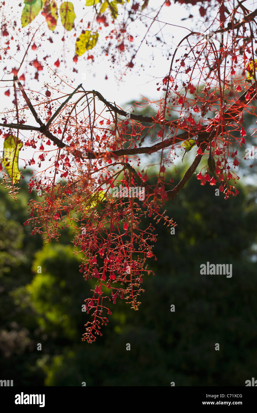 Tree with abundant red fruits, low angle view - Stock Image